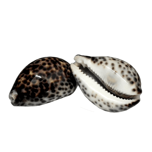 conchas-cyprea-massagem-corporal
